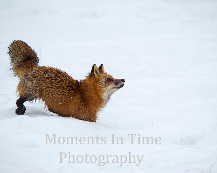 Fox red   vulpes fulva