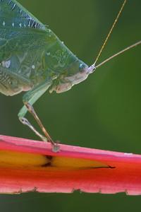 A portrait of Costa Rican katydid (Hyperphrona irregularis)