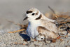 Snowy plover with chick