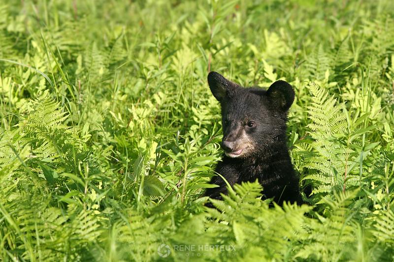 Bear cub in ferns