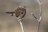 Song Sparrow, in very cold weather