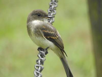 Juvenile Eastern Phoebe
