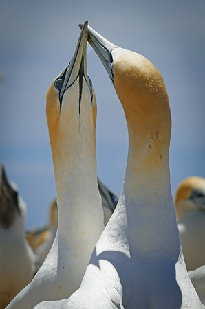 Gannet Affection, #1704