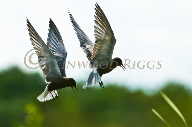 Black Terns fly above Messalonskee Lake in Belgrade, Maine