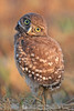 Trying to get a better look  - Burrowing owl baby