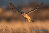 Northern Harrier - 7