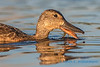 Cinnamon Teal, female