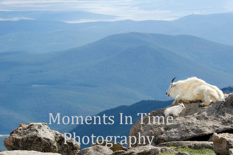 Goat with kid Mt Evans scenic