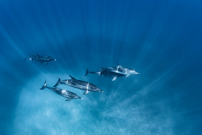 Over the Reef - Wild Atlantic Spotted Dolphins, Bimini, Bahamas, 2018