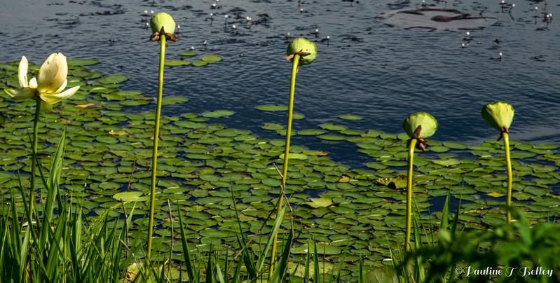 DSC_0030 Marsh Flowers