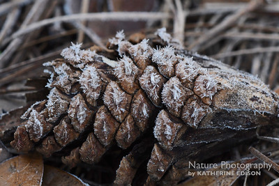 Frosty Pine Cone