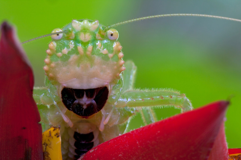 Pitbull katydid (Lirometopum coronatum) from Costa Rica