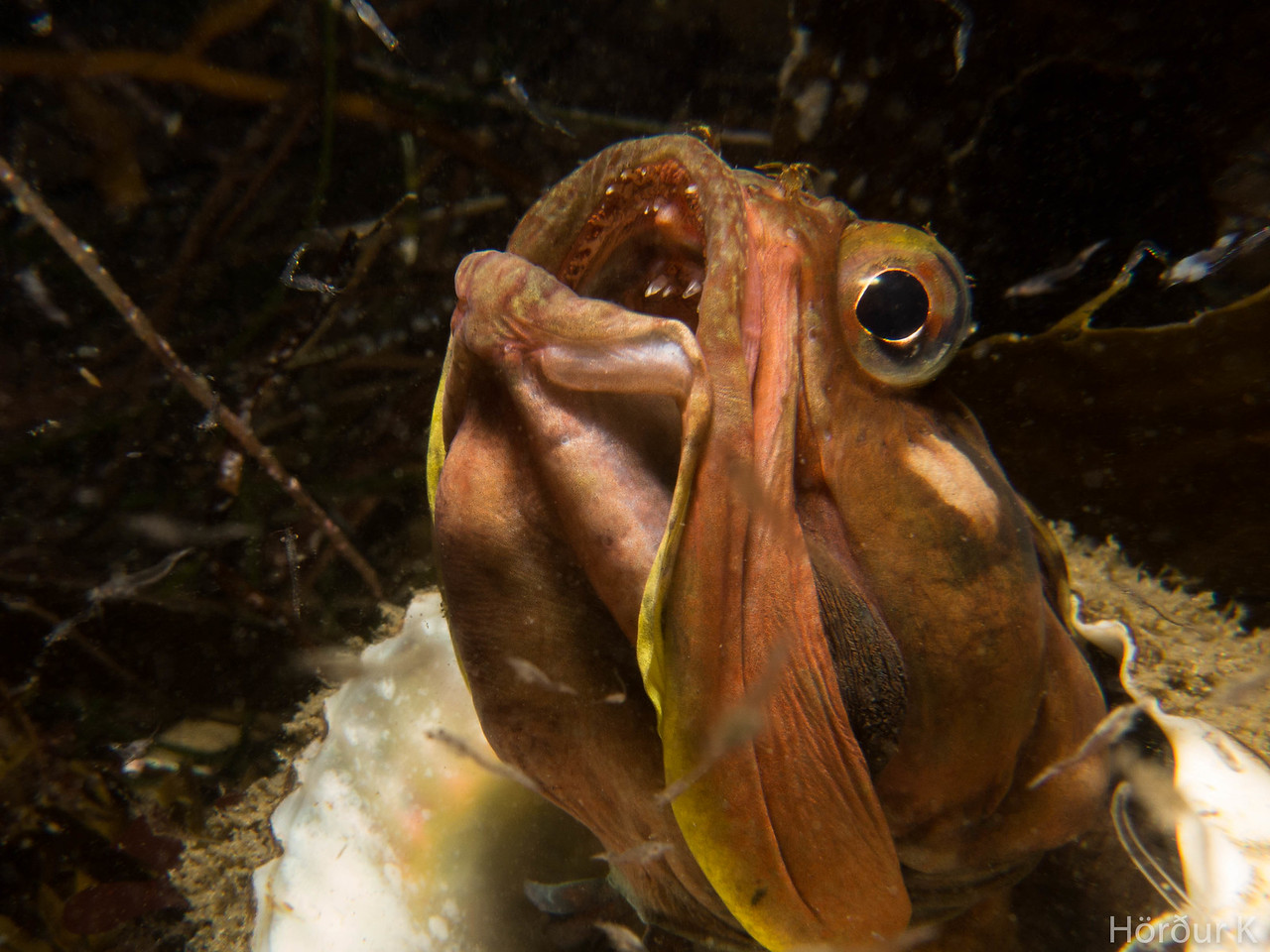 Fringehead eating krill