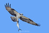 Osprey with spanish mackerel
