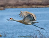 This Sandhill Crane was photographed in Belgrade, Maine.