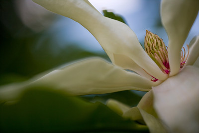Magnolia flower (Magnolia tripetala)