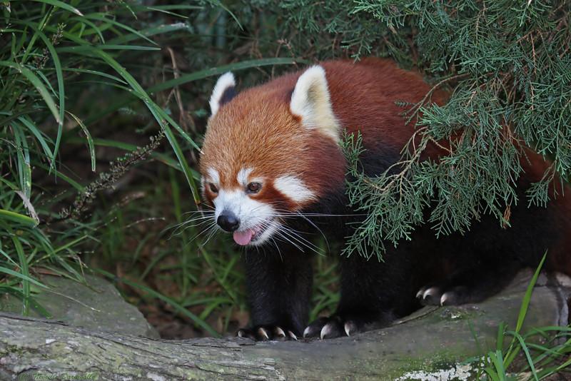 Red Panda (captive)