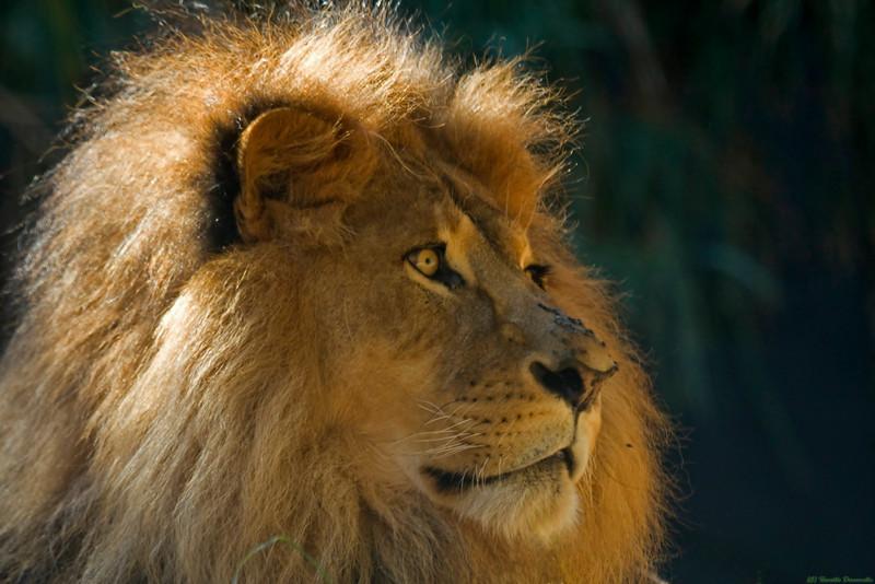 Lion (captive)