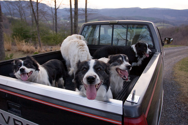 Truck full o' dogs, Saville Hill Farm, Virginia.