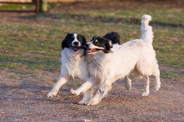Two of the dogs at Saville Hill Farm, Virginia.