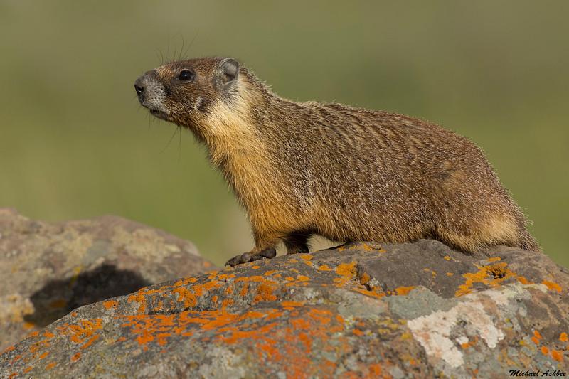 Yellow bellied Marmott