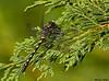 Black Pedaltail
