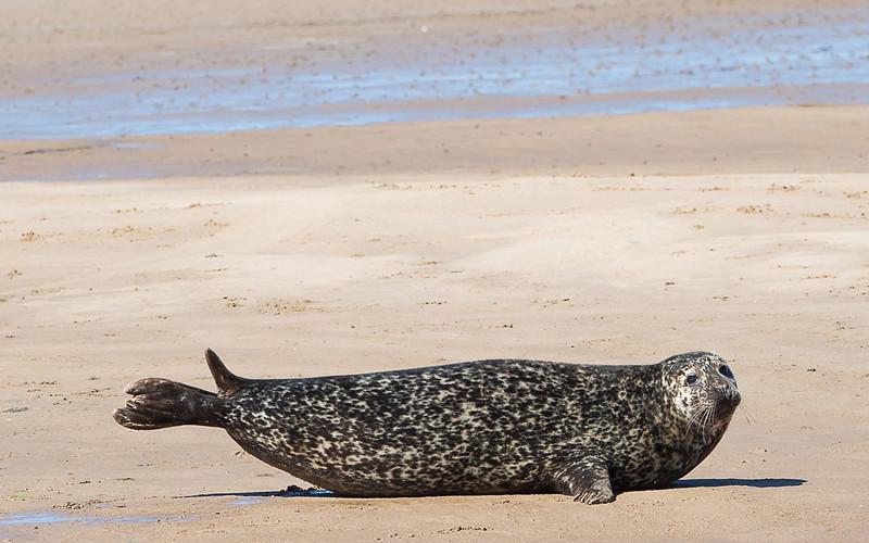 Seal on Walney Island Summer 2014