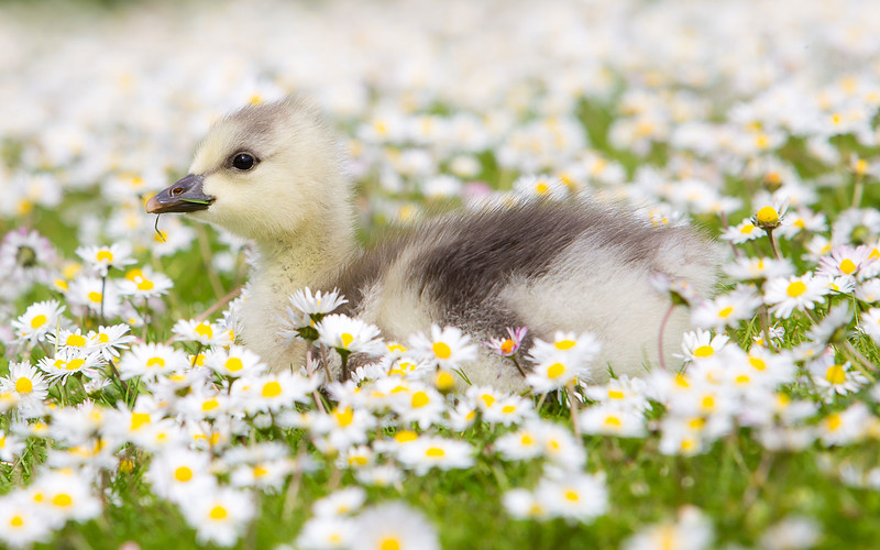 Barhead gosling at Grange Duck pond Summer 2014