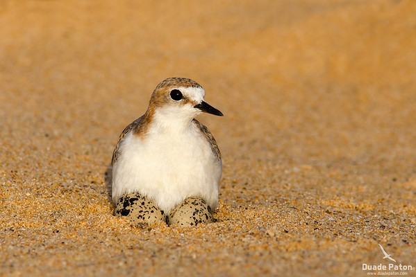 Red-capped Plover -Female on eggs