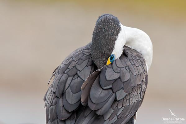 Pied Cormorant/Pied Shag
