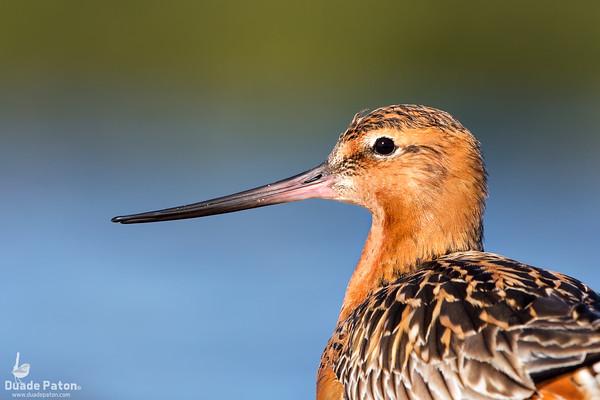 Bar-tailed Godwit - Breeding Plumage