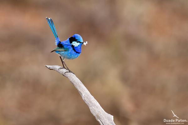 Splendid Fairy-wren