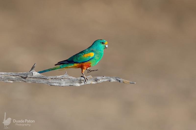Mulga Parrot (Male)