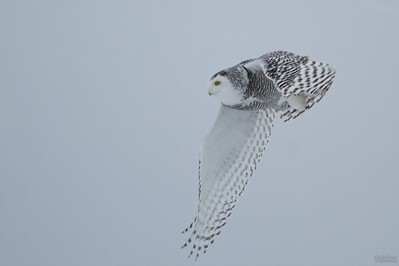 Looking for Snowy Owls near Shea and Akins