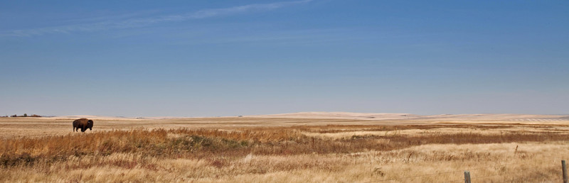 All That's Left - A lone bull bison crosses the vast prairie skyline near Vulcan, Alberta