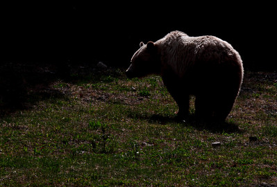 Highwood Grizzly