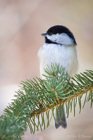 Chickadee on a Branch, Horseshoe Valley, Ontario