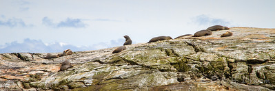 Resting Seals, Tasman Sea, Fiordland, New Zealand
