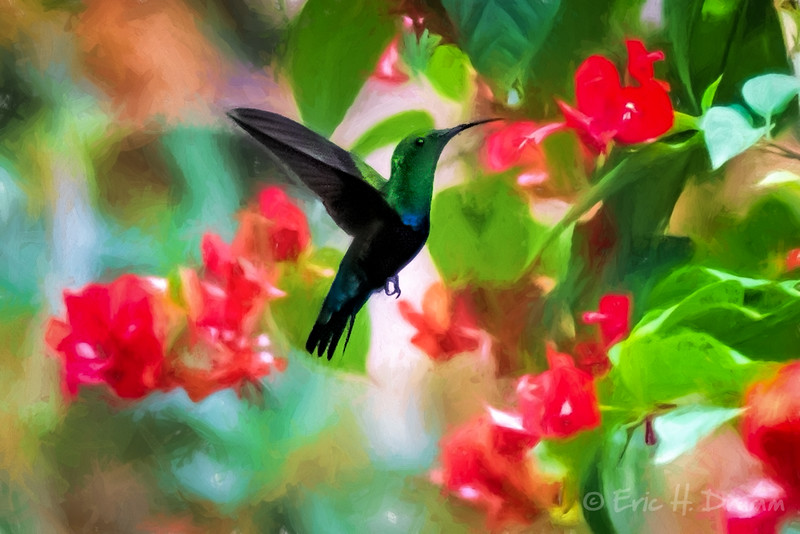 Green-throated Caribs - Hummingbirds, Barbados