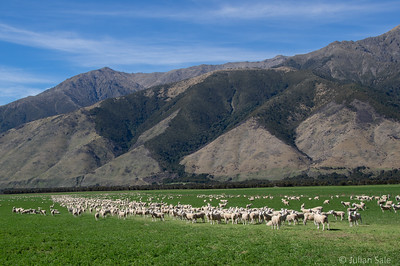 Did I say that they have a lot of sheep in NZ.  As far as the eye can see.