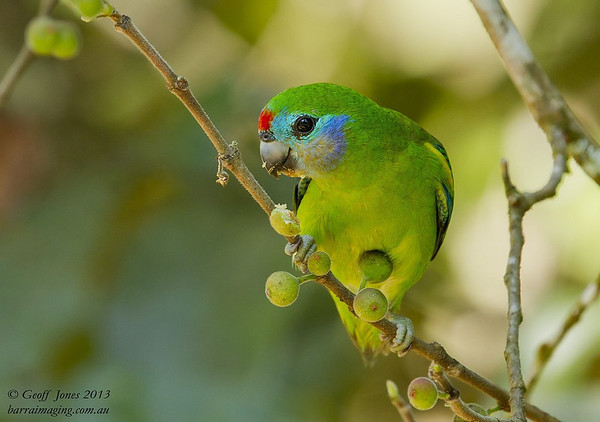 Double-Eyed Fig Parrot female