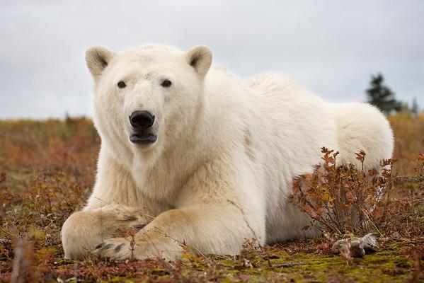 Polar Bear, Nanuk Polar Bear Lodge, Manitoba