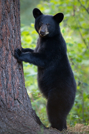 Black Bear Cub About to Climb a White Pine