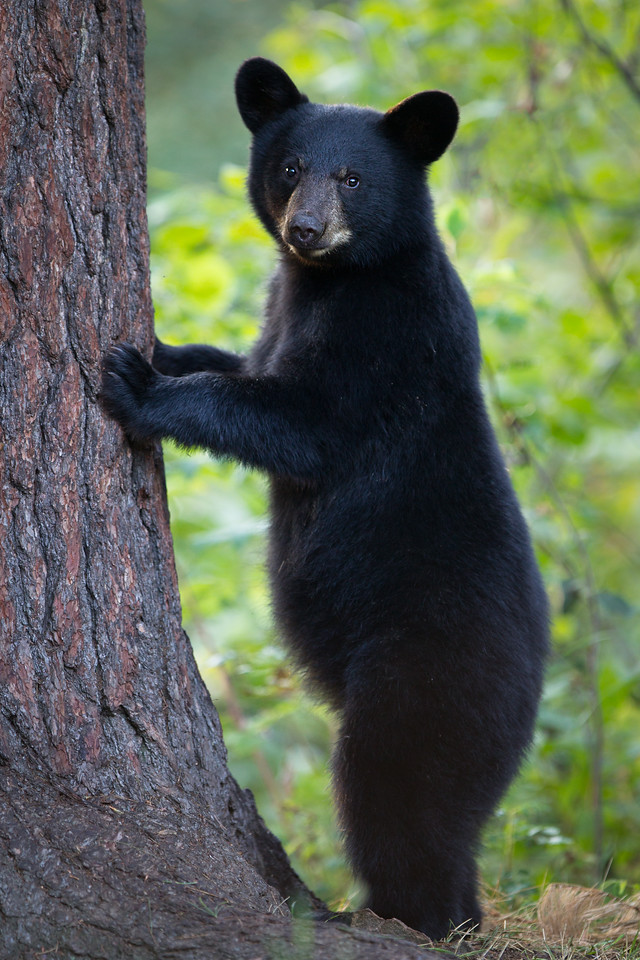 Black Bear Cub About to Climb a White Pine