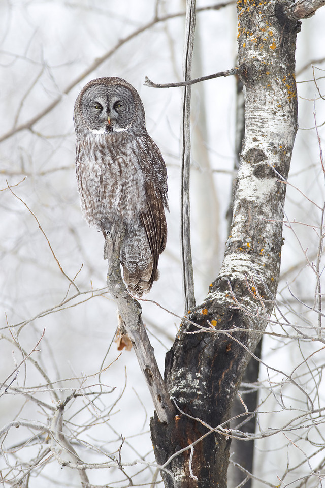 Perched Great Gray Owl