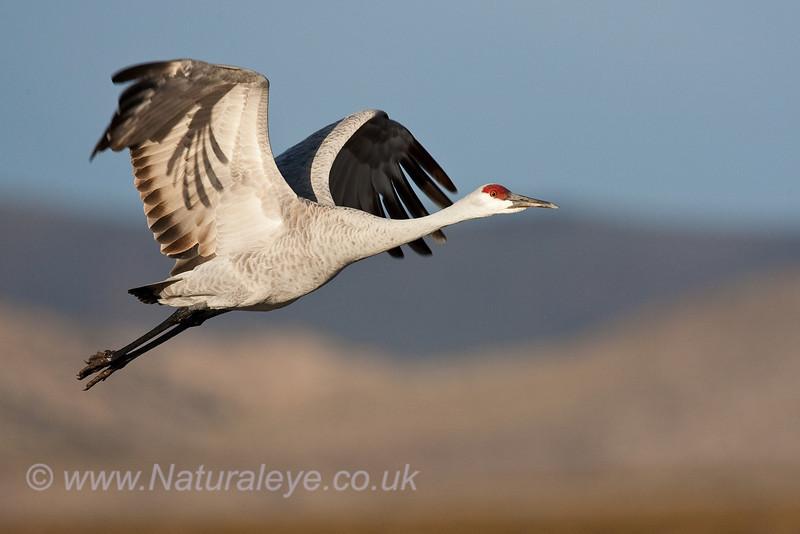 Sandhill Crane in flight