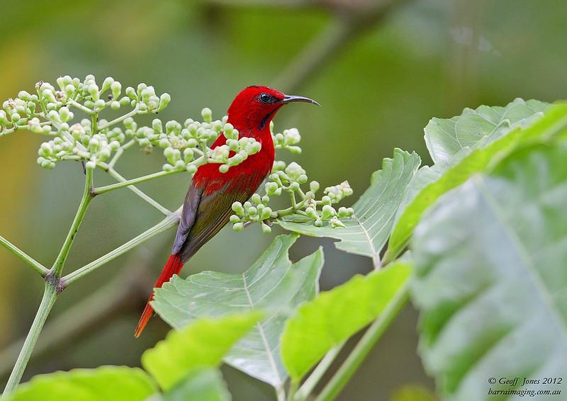 Temminck's Sunbird male