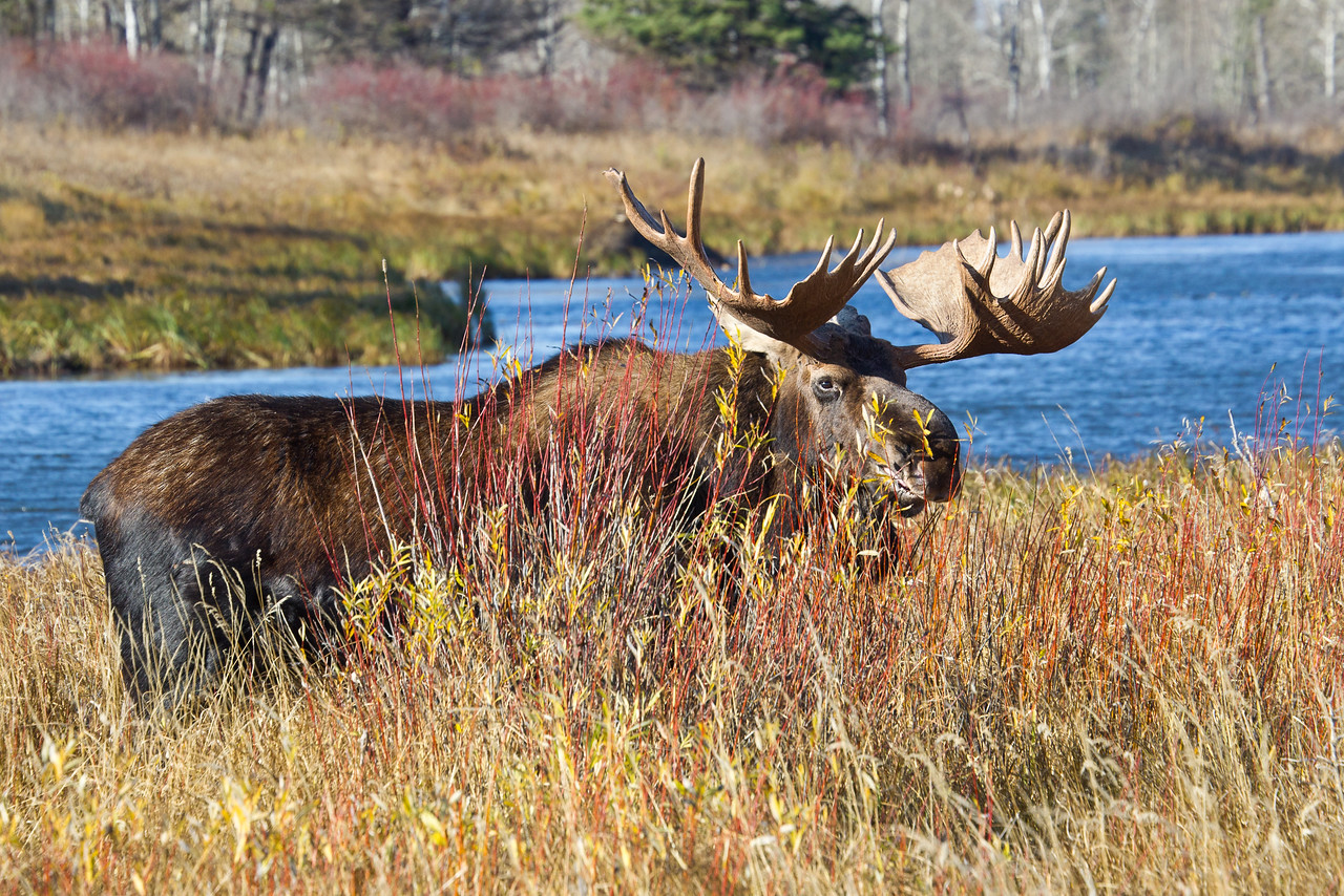 Large Bull Moose, Riding Mountain National Park, Manitoba