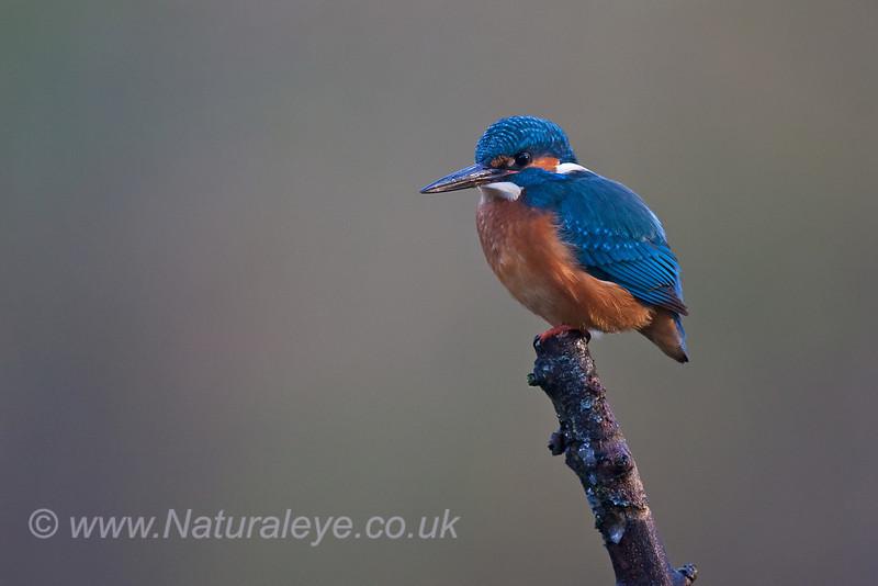 European Kingfisher