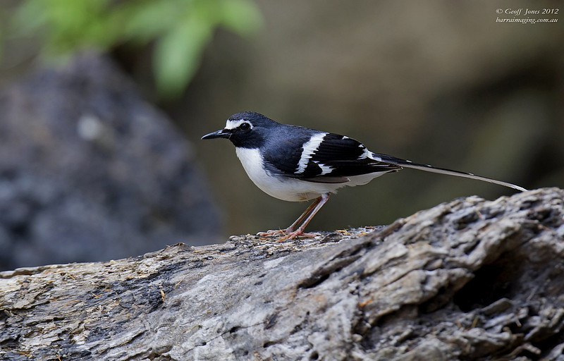 Slaty-backed Forktail